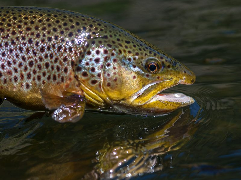 land of giants brown trout